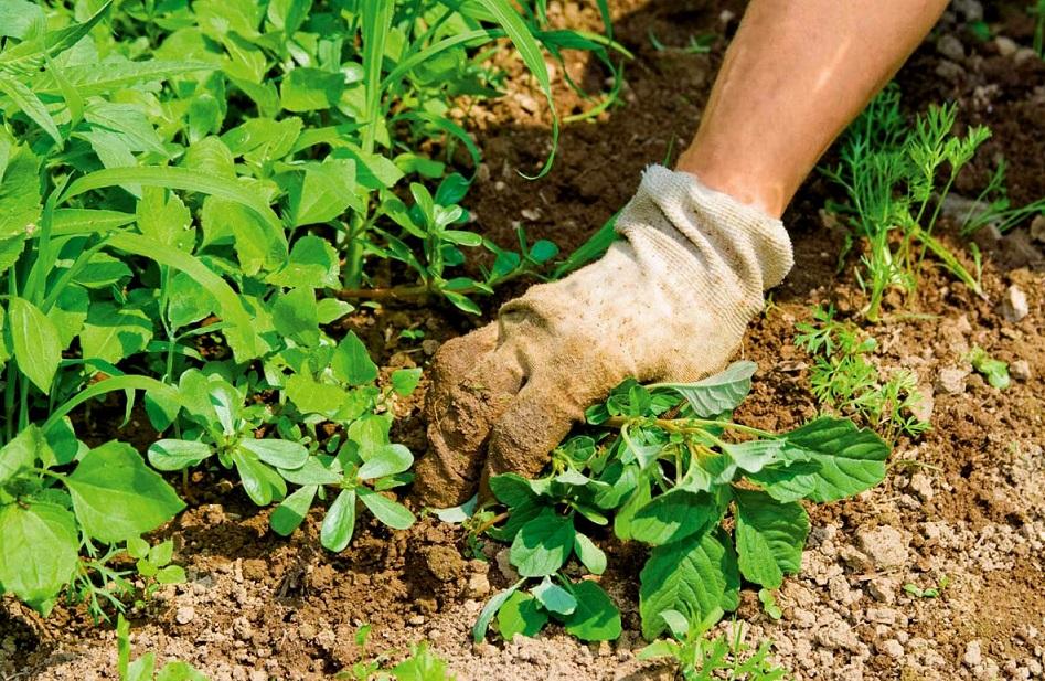 Борьба с сорняками на огороде: проверенные способы