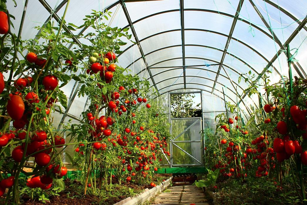 Выращивание помидоров в теплице: как добиться хорошего урожая