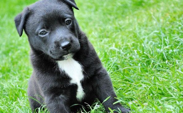 Прививка щенкам